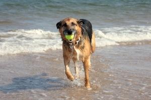 Hunde lieben es am Strand mal so richtig lange und weit laufen zu können.
